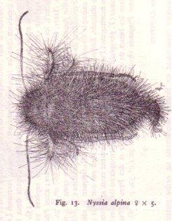 Mita alpina femelle grossie