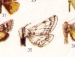 Mita alpina mâle