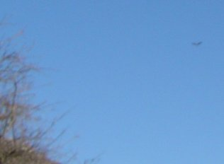 vautour très très joli