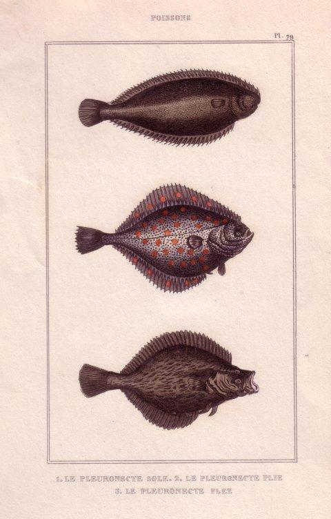 litho poissons plats